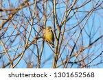 european greenfinch sitting on... | Shutterstock . vector #1301652568