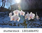 orchid flowers in the winter on ...   Shutterstock . vector #1301686492