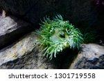 anthopleura xanthogrammica ... | Shutterstock . vector #1301719558