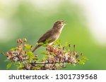 common grasshopper warbler... | Shutterstock . vector #1301739568