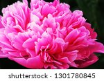 peony or paeony  peonies are... | Shutterstock . vector #1301780845
