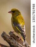 the european greenfinch ... | Shutterstock . vector #1301781988