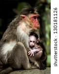 Small photo of Small baby monkey sitting on the arms of his mother (Macacus mulatta also called the rhesus monkey)