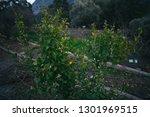 deciduous tree. deciduous tree... | Shutterstock . vector #1301969515