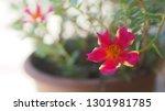 Gardening Purslane Or Moss Ros...