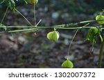 mekon river weed  cardiospermum ... | Shutterstock . vector #1302007372