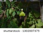 mekon river weed  cardiospermum ... | Shutterstock . vector #1302007375