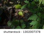 mekon river weed  cardiospermum ... | Shutterstock . vector #1302007378