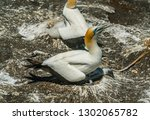 mother gannet bird nesting her...   Shutterstock . vector #1302065782