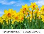 Yellow Dutch Daffodil Flowers...