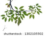tropical tree leaves with... | Shutterstock . vector #1302105502