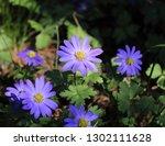 balkan anemone  grecian... | Shutterstock . vector #1302111628