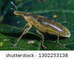 long snouted yellow weevils | Shutterstock . vector #1302253138