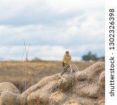 american kestrel sparrow hawk ... | Shutterstock . vector #1302326398
