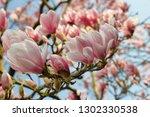 branch of magnolia tree in the... | Shutterstock . vector #1302330538