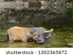asian water buffalo calf...   Shutterstock . vector #1302365872
