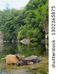 young asian water buffalo calf...   Shutterstock . vector #1302365875