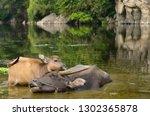 close up of asian water buffalo ...   Shutterstock . vector #1302365878