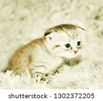 Stock photo the kitten meows shouts purebred kitten baby kitten 1302372205