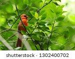 male northern cardinal songbird ... | Shutterstock . vector #1302400702