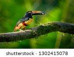 Collared Aracari - Pteroglossus torquatus is toucan, a near-passerine bird. It breeds from southern Mexico to Panama, Ecuador, Colombia, Venezuela and Costa Rica.