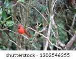 red male northern cardinal... | Shutterstock . vector #1302546355