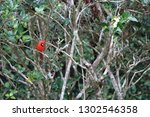 red male northern cardinal... | Shutterstock . vector #1302546358