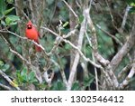 red male northern cardinal... | Shutterstock . vector #1302546412