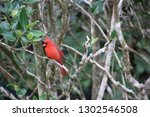 red male northern cardinal... | Shutterstock . vector #1302546508