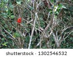 red male northern cardinal... | Shutterstock . vector #1302546532