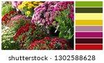 fresh colorful chrysanthemum... | Shutterstock . vector #1302588628