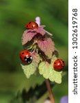 close up ladybugs  ladybirds ... | Shutterstock . vector #1302619768