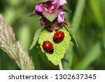 close up ladybugs  ladybirds ... | Shutterstock . vector #1302637345