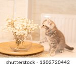 Stock photo scottish fold kitten young dray kitten sitting with white flowers a glass vase and a wooden plate 1302720442