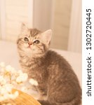 Stock photo scottish fold kitten young dray kitten sitting with white flowers and a wooden plate close up 1302720445