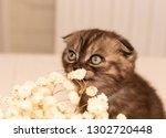 Stock photo scottish fold kitten young dark dray kitten sitting with white flowers close up 1302720448