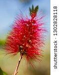 crimson bottlebrush ... | Shutterstock . vector #1302828118