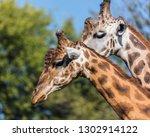 giraffe  giraffa camelopardalis ... | Shutterstock . vector #1302914122