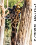 giraffe licking a tree  giraffa ... | Shutterstock . vector #1302914125