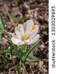 spring crocus  crocus vernus ...   Shutterstock . vector #1303029895