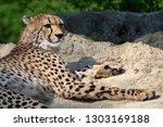 cheetah portrait  acinonyx... | Shutterstock . vector #1303169188
