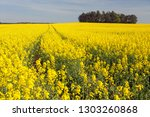 field of rapeseed  canola or... | Shutterstock . vector #1303260868