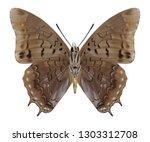 butterfly charaxes virilis ... | Shutterstock . vector #1303312708