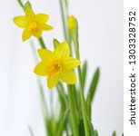 classic yellow narcissus flower ... | Shutterstock . vector #1303328752