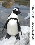 Black Footed Penguin Standing...