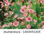 close up of blooming astrantia... | Shutterstock . vector #1303451335