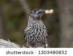 spotted nutcracker  nucifraga... | Shutterstock . vector #1303480852