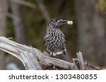 spotted nutcracker  nucifraga... | Shutterstock . vector #1303480855