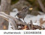 spotted nutcracker  nucifraga... | Shutterstock . vector #1303480858