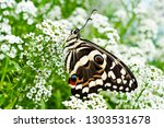 A Citrus Swallowtail Butterfly...